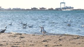 View of the sandy beach with seagulls and the seaport with boats on the pier. stock footage