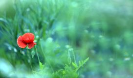 View scene of Poppy Flower blooming on field. Beautiful summer winter in the mountains. Soft blurred background. Grass plant at th royalty free stock photography