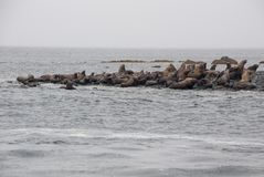 View Of Sea Lions Resting On Beach At Coast Royalty Free Stock Photography