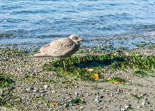 Seagull On The Beach 2. A view of a seagull by the water at Seahurst Beach Park in Burien, Washington stock images