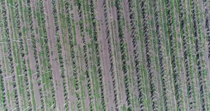 A view of the seedlings of trees from the air, flying over tree seedlings, a garden center, a young apple garden on the. Field, Rows of tree saplings in the stock video