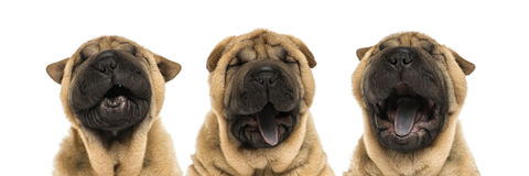 View of Shar pei puppy heads (11 weeks old) yawning stock photography