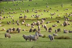 Sheep grazing on lush green pasture. View of Sheep grazing on lush green pasture, on the east coast of Tasmania, Australia Royalty Free Stock Images