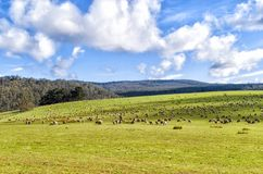 Sheep grazing on lush green pasture. View of Sheep grazing on lush green pasture, on the east coast of Tasmania, Australia Royalty Free Stock Photo