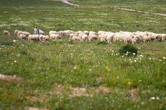 Shepherd with herd. View of a shepherd with a herd of sheep of the grassy fields Stock Photography