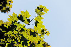 View of silesian acer tree, close up Stock Photo