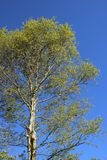 Silver Birch Tree coming into leaf in spring Royalty Free Stock Image