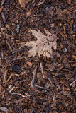 View of a single dried oak leaf laying in wood chips Stock Photo