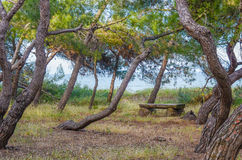 View of sinuous pine-tree trunks and bench, Pineto Stock Image