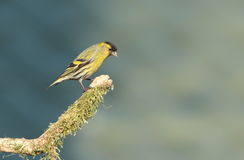 Siskin. Royalty Free Stock Photo