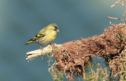 Siskin. Royalty Free Stock Image
