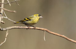 Siskin. Stock Photos