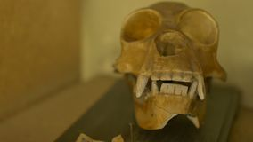Skull of a gibbon. View of a skull of a gibbon exposed on a shelf stock video footage