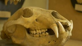 Skull of a wolf. View of skull of a wolf in a zoological laboratory stock video
