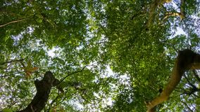 View of the sky through the crown of large tropical trees stock video footage
