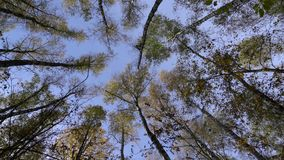 The view of the sky through moving branches of birch trees stock footage