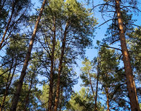 View  sky through  pine forest. View of the sky through the pine forest Royalty Free Stock Photo
