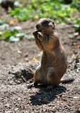 View of a small animal - whiz Royalty Free Stock Photo