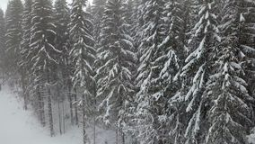 Snow-covered spruces. Winter landscape. View on snow-covered spruces. Winter landscape stock video