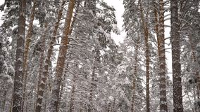 View on a snowy forest. Spruce, pine, birch - all the high trees covered with snow. Beautiful frosty day in which you. View of snow-covered pine and fir forest stock footage