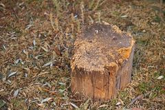SOLID PIECE OF TREE STUMP BEING USED AS WOOD CHOPPING BLOCK. View of solid piece of old tree trunk being used as a chopping block with splintered surface Royalty Free Stock Photography