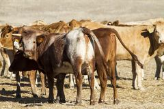 Brown cows. View of some brown cows on a Alentejo landscape Stock Photo