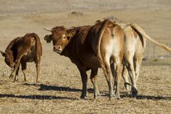 Brown cows. View of some brown cows on a Alentejo landscape Stock Photos
