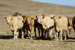 Brown cows. View of some brown cows on a Alentejo landscape Stock Images
