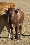 Brown cows. View of some brown cows on a Alentejo landscape Royalty Free Stock Image
