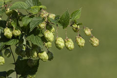 View of hop, ingredient of beer. Stock Image