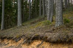 The View of Some Open Tree Roots in the Forest. On the Early Spring Evening, with the Trees Behind them Stock Photos