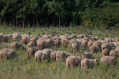 Sheep and a flock of starlings. A view of some sheep and a flock of starlings Royalty Free Stock Images