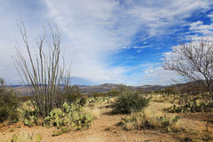 View of the Sonora Desert and Octillo cactus. A View of the Sonora Desert and Octillo cactus Royalty Free Stock Image