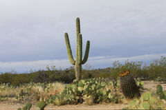 View of the Sonora Desert and Saguaro cactus. A View of the Sonora Desert and Saguaro cactus Royalty Free Stock Images