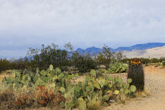View of the Sonora Desert and various cactus. A View of the Sonora Desert and various cactus Stock Photo
