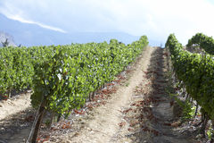 View Of South African Vineyard Stock Image