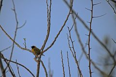 VIEW OF SOUTHERN MASKED WEAVER IN A BARE TREE. View of a male southern masked weaver bird sitting on a stem against the sky Royalty Free Stock Photos