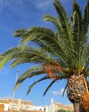 View from Spain. Palm with fruits, bright blue sky and buildings in background Stock Photography