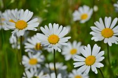 View of spring flowers, South Bohemia royalty free stock photography
