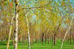 View of spring park with birch trees Royalty Free Stock Photo
