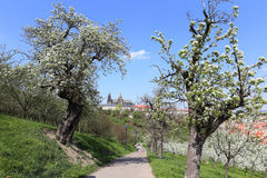 View on the spring Prague Castle, green Nature and flowering Trees, Czech Republic Royalty Free Stock Photography
