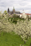 View on the spring Prague City with gothic Castle, green Nature and flowering Trees, Czech Republic Royalty Free Stock Photo