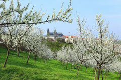 View on the spring Prague gothic Castle with the green Nature and flowering Trees Stock Images