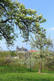 View on the spring Prague gothic Castle with the green Nature and flowering Trees Royalty Free Stock Photo