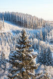 View of spruce forest at winter Royalty Free Stock Photography