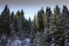 Spruce trees in a mountain forest. View from spruce trees in the mountain forest stock image