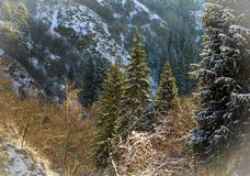 Spruce trees in a mountain forest. View from spruce trees in the mountain forest royalty free stock images