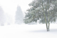 View with spruces through a veil snowstorm Royalty Free Stock Image