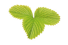 A view of a strawberry leaf. Isolated against white background Royalty Free Stock Photography