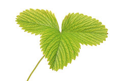 A view of a strawberry leaf. Isolated against white background Stock Image